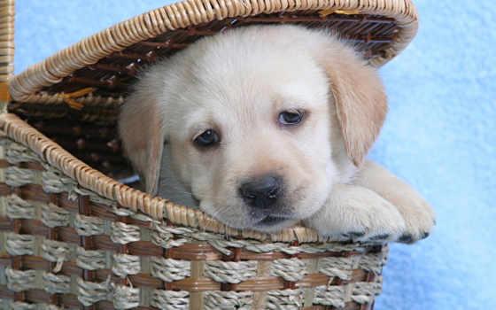 labrador, собака, взгляд