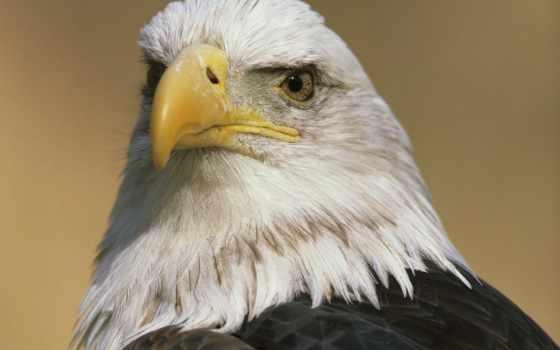 орлан, орлы, falling, совершенно, свой, wpapers, гора, голова, птица, хищник,