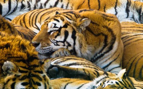 tigers, sleeping, free