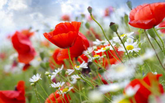 маки, cvety, ромашки, небо, стебли, картинка, tochka,