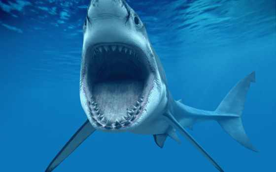 blanco, tiburón, tiburones