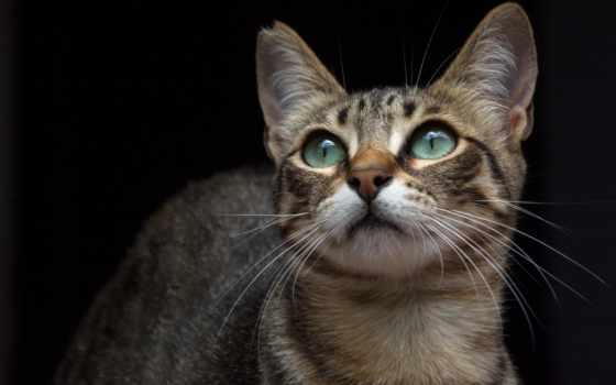 , кот, усы, глаза, уши,