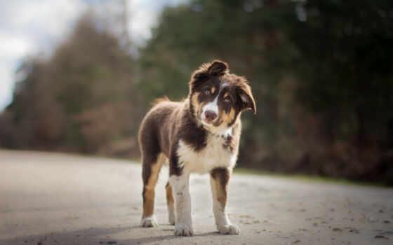 собака, овчарка, australian, aussie, animal, браун, pet, порода