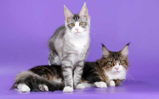 кот, domestic, мэн, кун, animal, порода, gato, short, глаз, cute