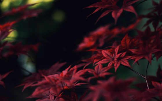 листья, красные