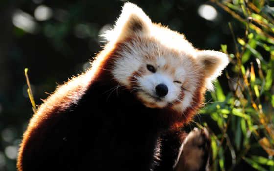 панда, красная, кошка