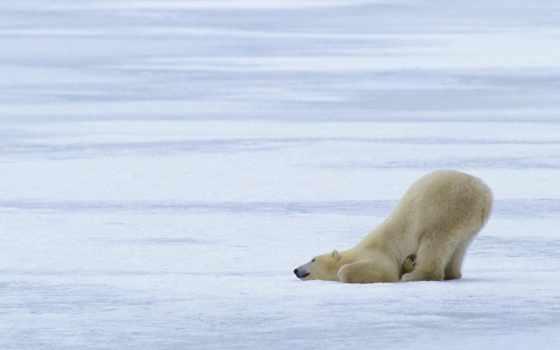 white, play, снег, winter, медведь, разных, голову, положил,
