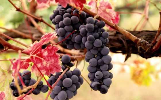 виноград, листва, осень, ягоды, лоза, урожай, грозь, благо, sun, грозди,