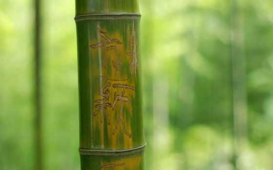 бамбук, зелёный, макро, ствол, дерево, иероглифы, надпись, листва, картинка,