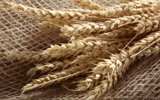 пшеница, макро, картинка, high, you,