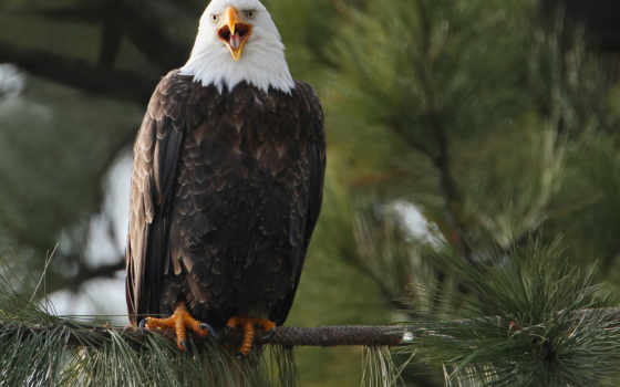 animales, fondos, águilas