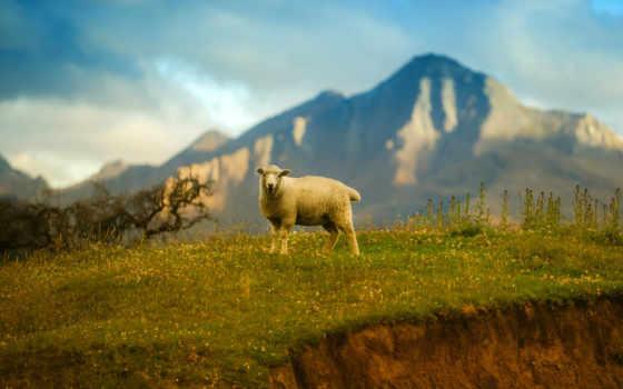 new, zealand, sheep, free, resolutions, телефон,