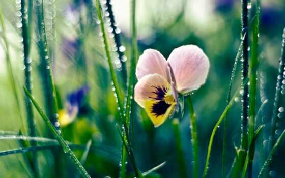 summer, цветы, глазки, анютины, трава, cvety, красивые, рисунки, заставки,