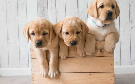 щенок, собака, pazti, grna, labrador, retriever, subscribe, абонент, золотистый, toy