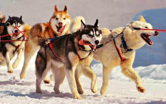 упряжка, собачья, собачьих, упряжках, упряжки, катание, упряжке,
