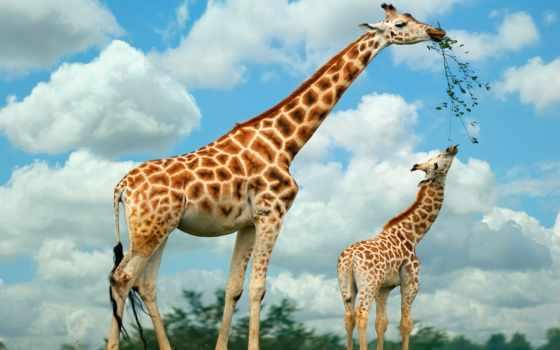 жираф, жирафы, животные Фон № 51262 разрешение 1920x1200