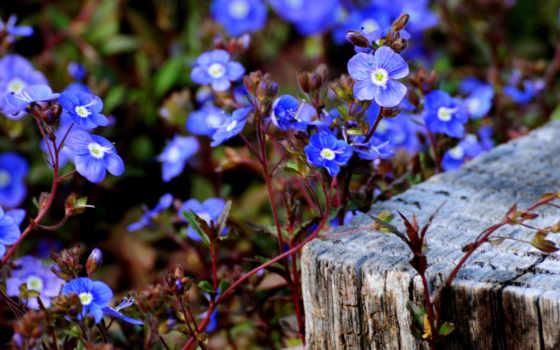 незабудки, голубые, цветы
