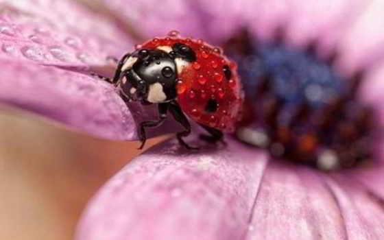 коровка, божья, насекомые, цветы, alejandro,