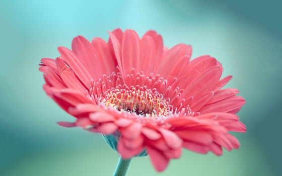 fondos, gerbera, pantalla, rosa, розовый, escritorio, descargar, flores, hermosa,