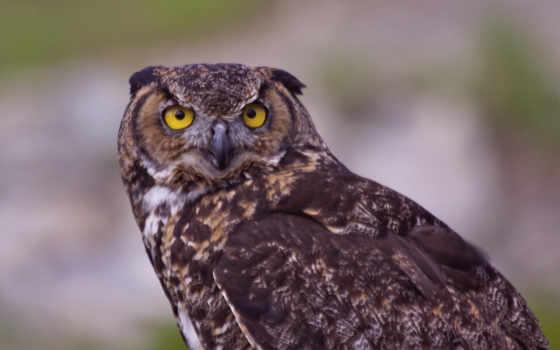 сова, птица, хищник, монитора, рейтинг, просмотров, дата, кб, прислал, взгляд,