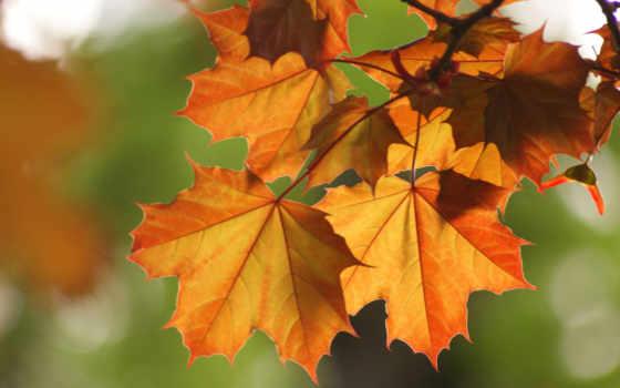 branch, листва, осень, maple, осенняя, клена, макро, осенние, разных, разрешениях,