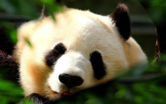 панда, сайте