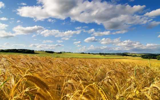 поле, небо, пшеница, summer, природа, колосья, злаки, пшеницы,