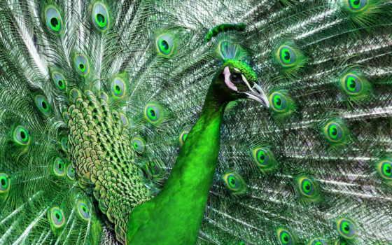 peacock, птица, картинка, зелёный, красивые, красивый, tail, природа, перья,