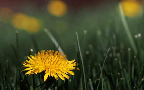 одуванчик, цветок Фон № 15608 разрешение 2560x1600