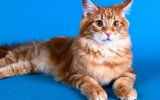 кот, рыжий