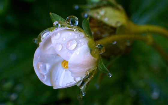 цветок, белый, капли