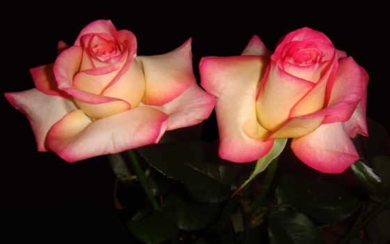 розы, цветы, розовый