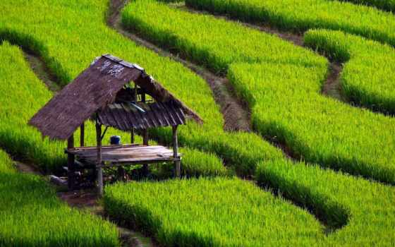 рис, поле, desktop, landscape,