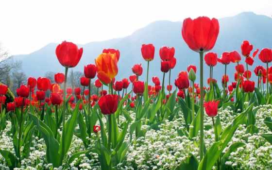 весна, cvety, lei, есть, природа, фотообои, тег, которых, всех, тюльпаны,