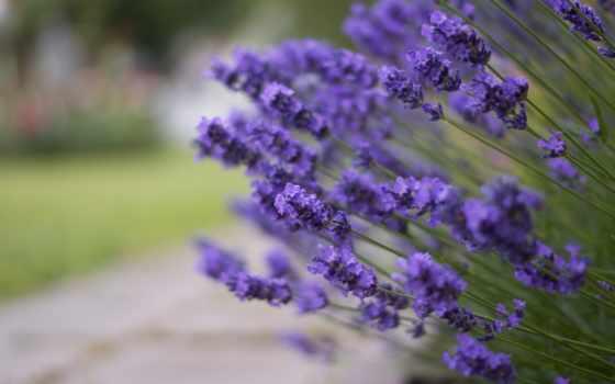 parede, papel, twitter, lavender, цветет, optical, летнюю, лаванда, пору, лаванды,