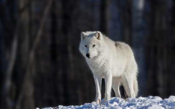 волк, white, снег, волки, eyes, боке, свет,