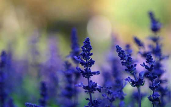 cvety, растения, lavender, поляна, summer, синие,