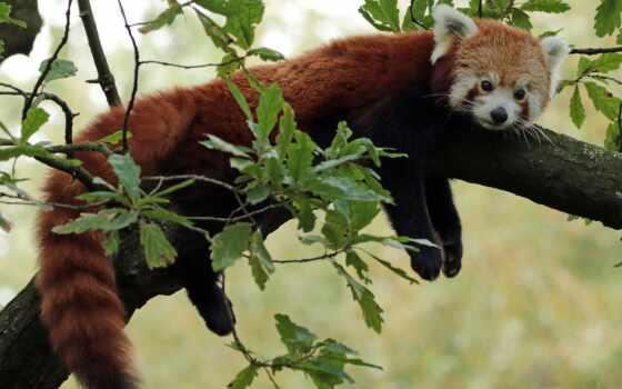 панда, red, kintum, small, zoo, animal, морда, duvar