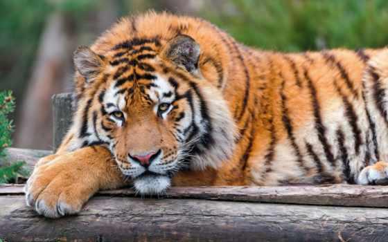 взгляд, тигр, морда, лежит, отдых, лапа, кошка, большая, животные,
