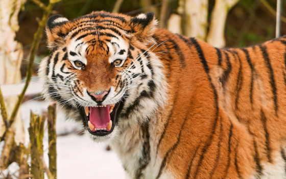 ухмылка, тигр, морда Фон № 58379 разрешение 1680x1050