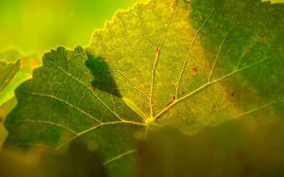 макро, veins, makro, licht, листья, hintergrundbild, свет, hintergrund,