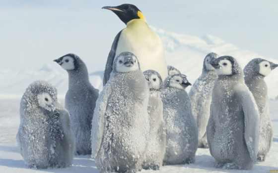 пингвин, антарктида, снег