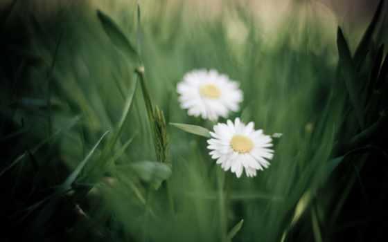 ромашки, цветы, скачиваний