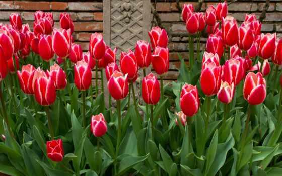 цветы, тюльпаны, много