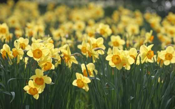 нарциссы, цветы, весна, поляна, желтые, макро,