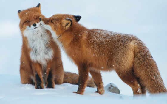 фокс, лисы, ipad, снег, лис, хищники, нравится, red, winter,