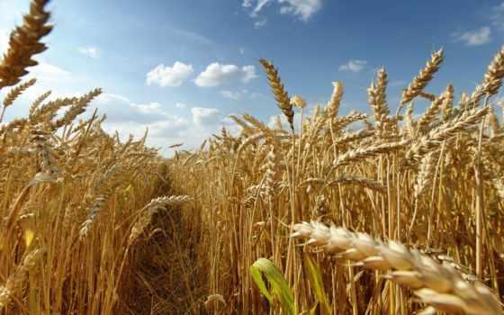 пшеница, пшеницы, time, россии, пойдет, производственный, рецепт, казахстанская, китайской,