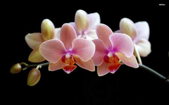 орхидеи, орхидея, домашних