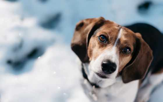 beagle, собака, zhivotnye, взгляд, морда, свадебный, beirut, собаки, природа,