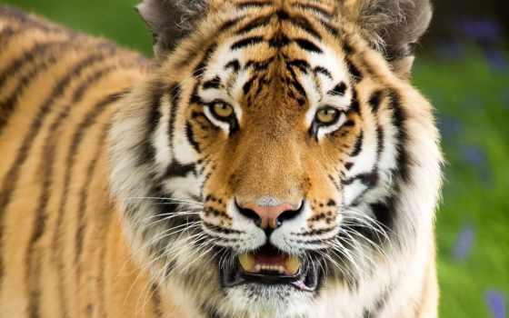 тигр, морда Фон № 19346 разрешение 1920x1200